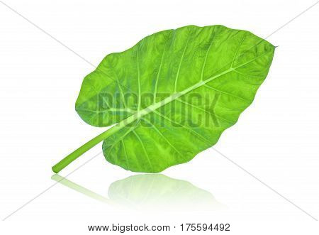back of indian taro leaf isolated on white background
