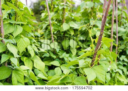 Growing the beans (Phaseolus vulgaris). Green vines and leaves creeping on the vertical support.