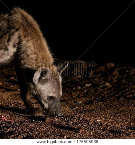 Feeding of spotted hyenas near Harar Ethiopia