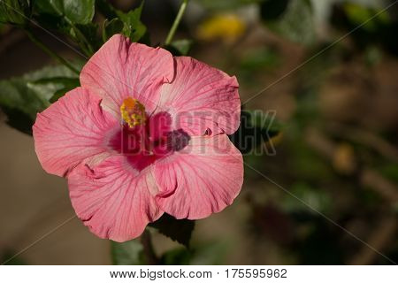 Close up of Pink Hibiscus rosa-sinensis or Cooperi with green leaf background