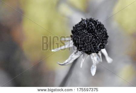 Close up of a withered dry Flower
