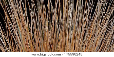 Close up of withered ornamental porcupine grass