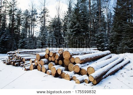 Trunks of large pine trees prepared for export in the winter forest. Stacked in stacks of sawn forest covered with snow. Industrial logging of pine trees, nature is used by people.