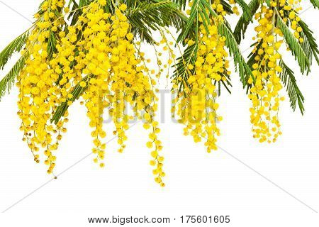Luxury branches of a blossoming mimosa. Spring flowers. Yellow fragrant clusters of mimosa. The symbol of spring.