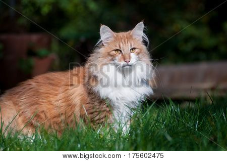 Red norwegian forest cat in den garden, sunshine, summer and outdoor