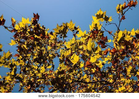 Colored Plane tree foliage with many colours