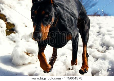 The Doberman pinscher at a snow-covered mountain.