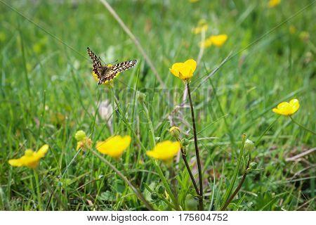 Monarch butterfly seeking nectar on a flower using path