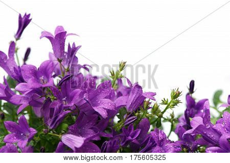 Card with beautiful purple Dalmatian bellflowers (campanula portenschlagiana) isolated on white. Copy space