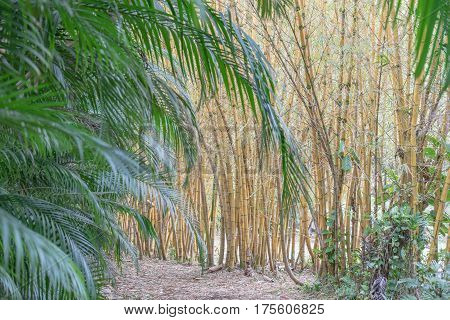 Close up of Multiple Golden Bamboo Stocks and palm fronds