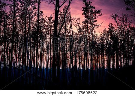 Beautiful panorama of pine forest with sunny summer day. Coniferous trees. Sustainable ecosystem