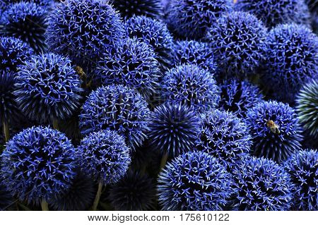 Close up of blue spiky echinops flowers