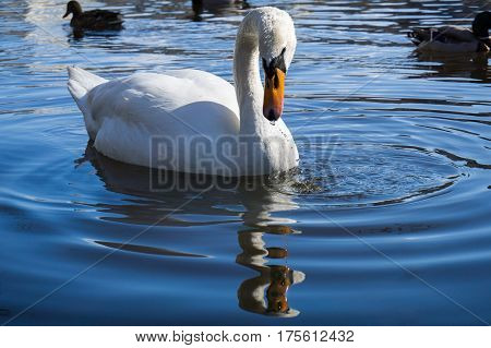 Close-up of a beautiful swan. White swans at the lake.  Swimming Swan (Cygnus) in Spring. Graceful Swan