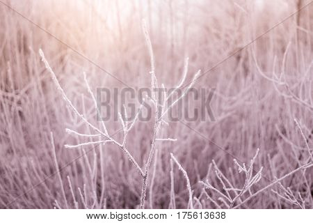 Bush branches covered by hoarfrost on a background of snow branches or bushes at sunrise, winter fairytale, background, abstract, natural pattern
