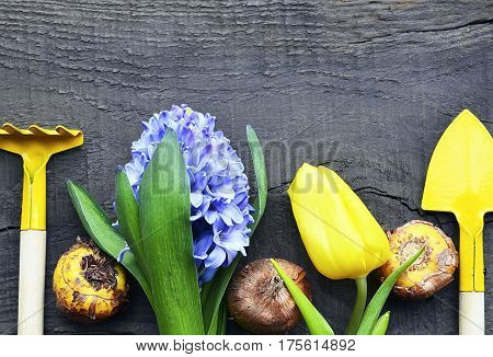 Blue hyacinth,yellow tulip,gardening tools and gladioli bulbs on old wooden background.Hyacinth spring flower.Spring gardening concept.Selective focus.