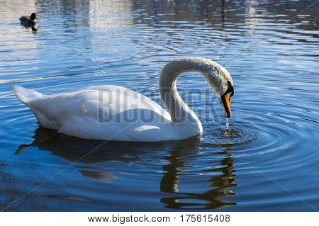 Close-up of a beautiful swan. White swans at the lake. Swimming Swan (Cygnus) in Spring