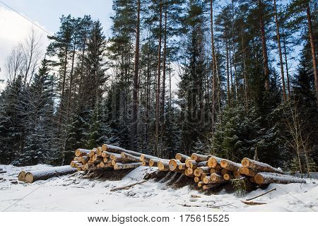 Trunks of trees pines prepared for export in the forest winter. Stacked in stacks of sawn forest covered with snow. Industrial logging of pine trees. Nature is used by people.