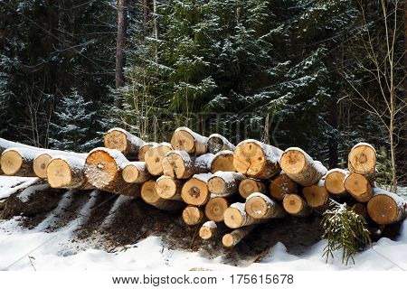Laid trunks of trees pines prepared for export in the winter season. Stacked in stacks of sawn forest covered with snow. Industrial logging of pine trees. Nature is used by people.