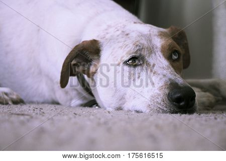 Red heeler mix dog with different color eyes lays on carpet looking up.