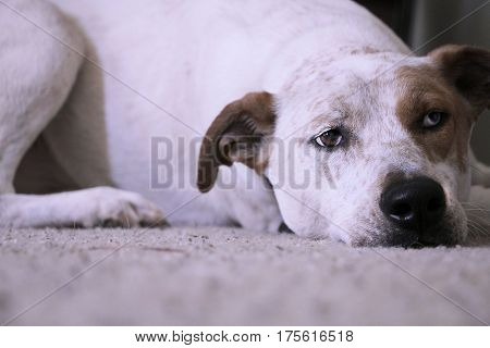 Red heeler mix dog with different colored eyes laying down on carpet looking sad.