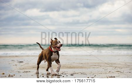 Red nose American Pit Bull Terrier running along ocean beach