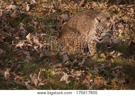 Bobcat (Lynx rufus) Licking Nose in Leaf Clutter - captive animal