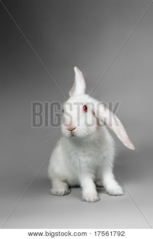 Fluffy white rabbit over grey background