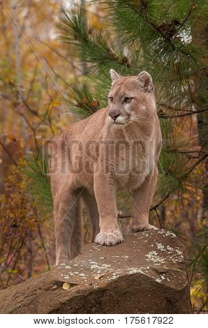 Adult Male Cougar (Puma concolor) Stands Atop Rock - captive animal