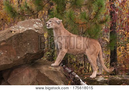 Adult Male Cougar (Puma concolor) Prepares to Climb Up - captive animal