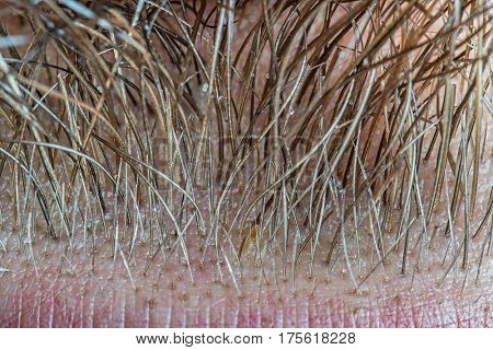 Human male beard hair super close-up view. Magnification about 100 times.