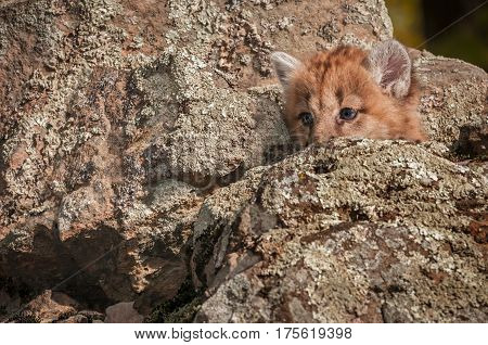Female Cougar Kitten (Puma concolor) Hidden in Rocks - captive animal