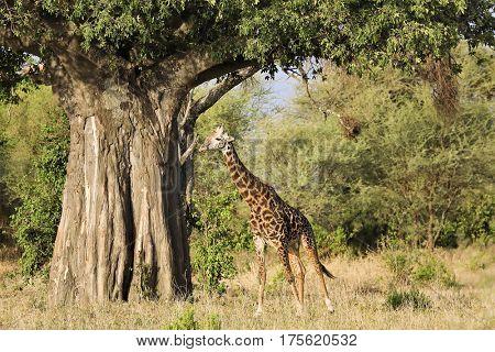 A single giraffe walks under a majestic baobab tree in Tanzania.
