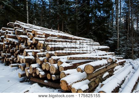 The laid trunks of trees prepared for export in the winter season. Stacked in stacks of sawn forest covered with snow. Industrial logging of pine trees. Nature is used by people.