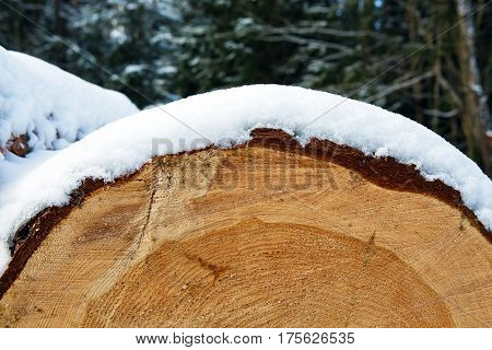 Details of the Trunks of large pine trees prepared for export in the winter season. Stacked in stacks of sawn forest covered with snow. Industrial logging of pine trees. Nature is used by people.