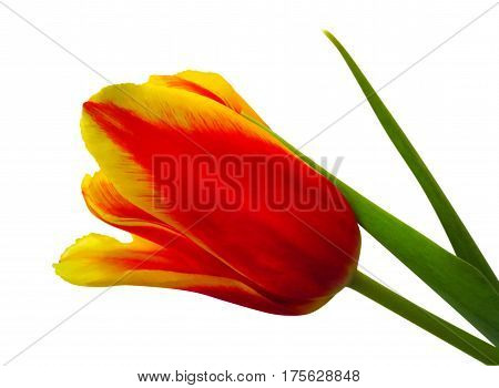 Yellow-red tulip isolated on white background with Clipping Path