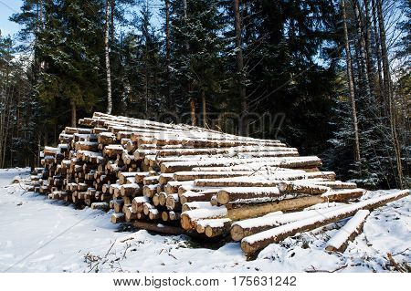 Large trunks of fallen pine trees prepared for export from winter forest. Stacked in stacks of sawn forest covered with snow. Industrial logging of pine trees. Nature is used by people.