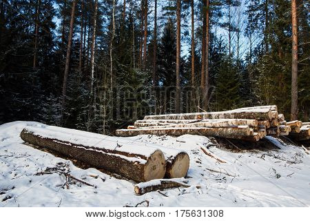 The large trunks of fallen pine trees prepared for export from the winter forest. Stacked in stacks of sawn forest covered with snow. Industrial logging of pine trees. Nature is used by people.