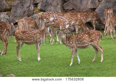 Chital (Axis axis), also known as the spotted deer or axis deer.