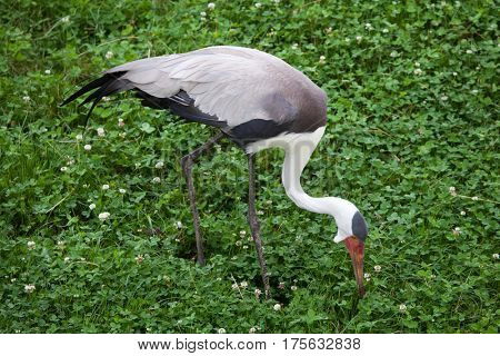 Wattled crane (Bugeranus carunculatus). Wildlife animal.