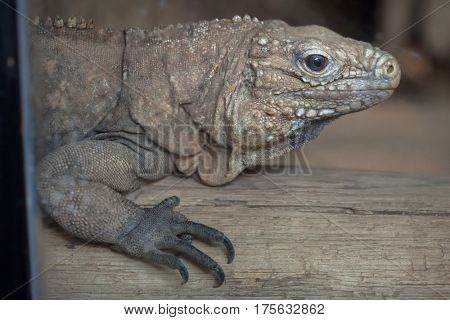 Cuban rock iguana (Cyclura nubila), also known as the Cuban ground iguana.