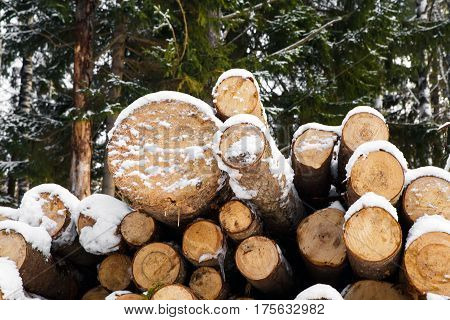 The large trunks of fallen pine trees prepared for export in the winter season. Stacked in stacks of sawn forest covered with snow. Industrial logging of pine trees. Nature is used by people.