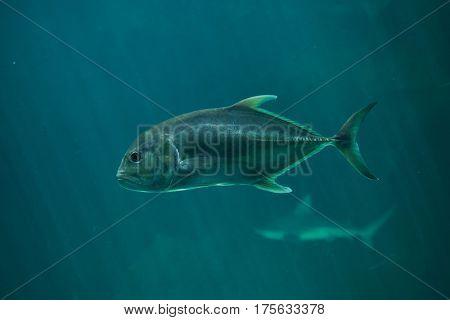 Golden trevally (Gnathanodon speciosus). Marine fish.