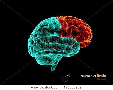 Human brain frontal lobe anatomy structure. Human brain anatomy 3d illustration.