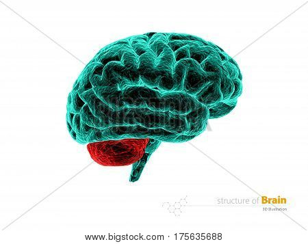 Human brain cerebelum, anatomy structure. Human brain anatomy 3d illustration. isolated withe