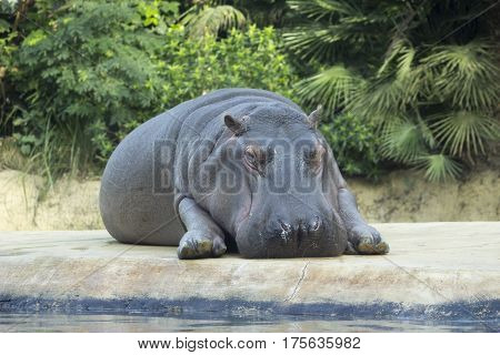 Hippo relax in Zoo Berlin. Adult hippopotamus lying and resting on the island in the aviary. Greenery background.