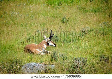 Pronghorn sheep rests in a field of grass in Yellowstone National Park.