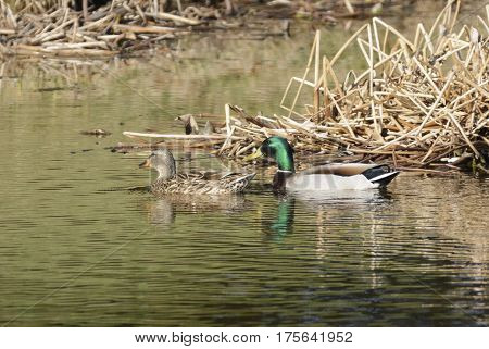 A mating pair of Mallards (Anas platyrhynchos) shown swimming in left profile in a pond in Carroll County, Maryland, USA.