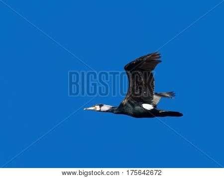 Cormorant flying with blue sky - Phalacrocorax carbo