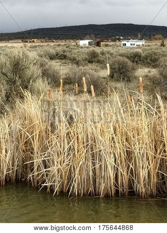 Cat tails on a lake shore at the end of a Central Oregon winter with sagebrush buildings and hills in the background.