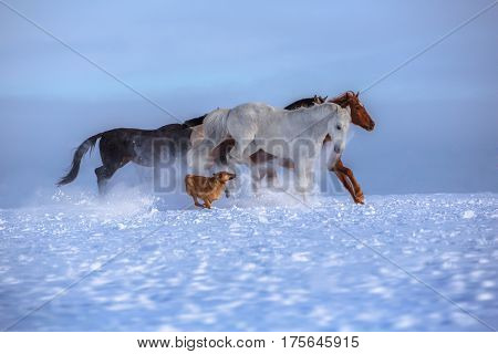 Herd of several horses with dog run on snow on blue sky background